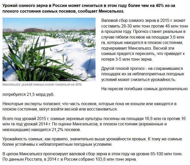 Минсельхоз: урожай озимых может снизиться на 40%